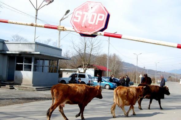 Cows at the ABL